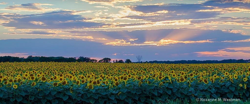 Blooming sunflowers in North Dakota