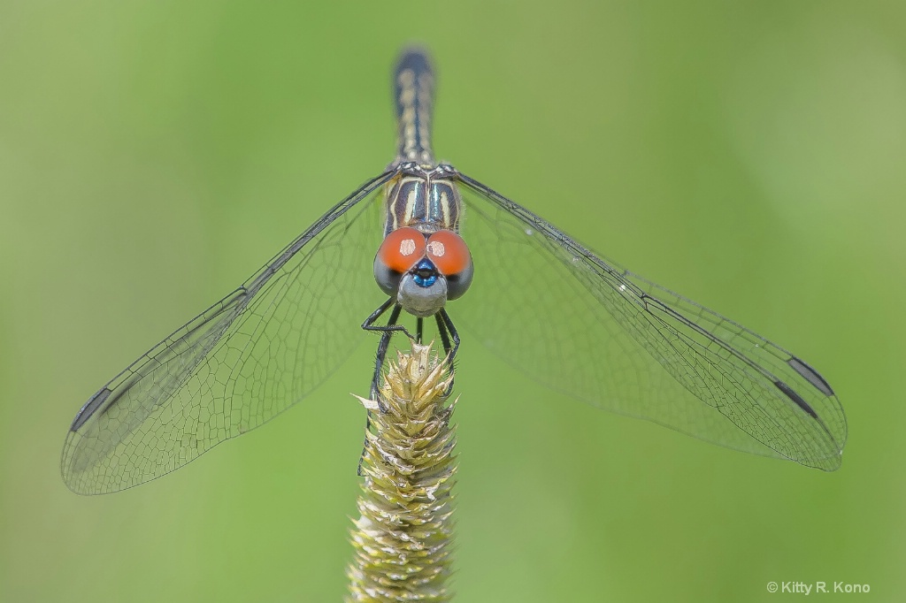The Red Eyed Dragonfly