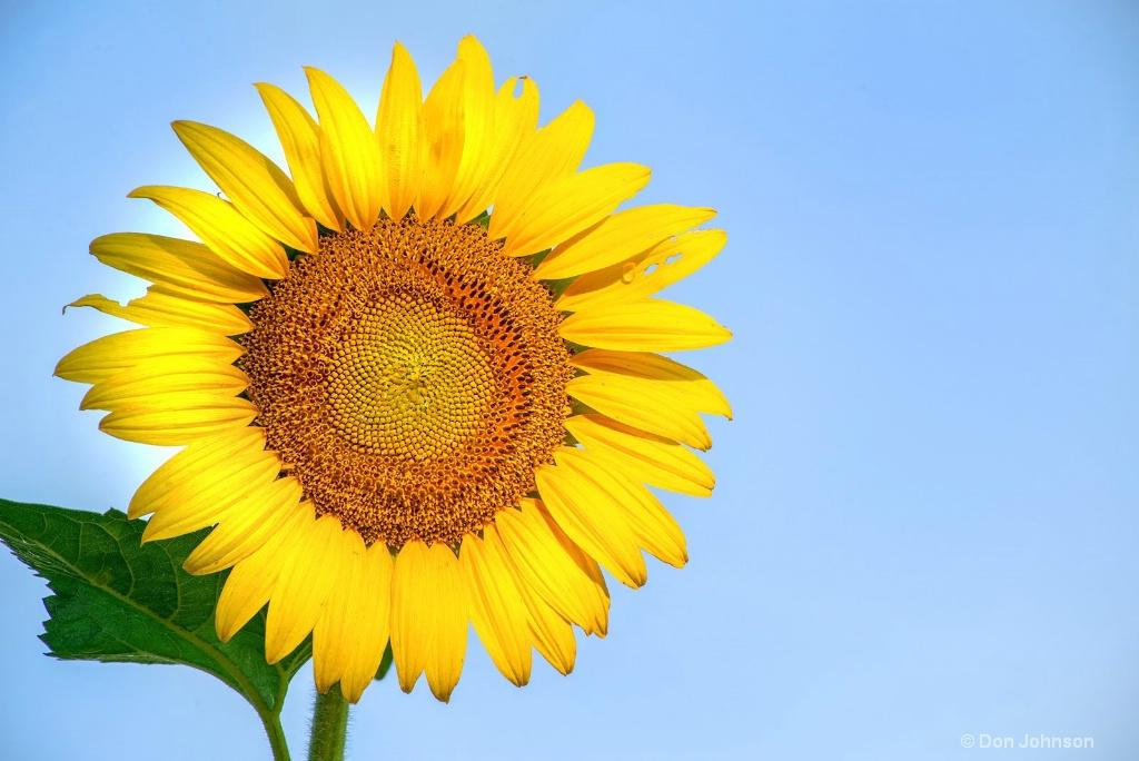 Sunflower and Sky 3-0 F LR 7-13-18 J254
