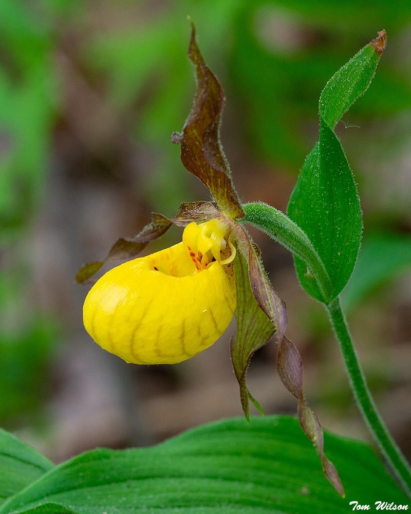 Yellow Ladies Slipper, North Georgia