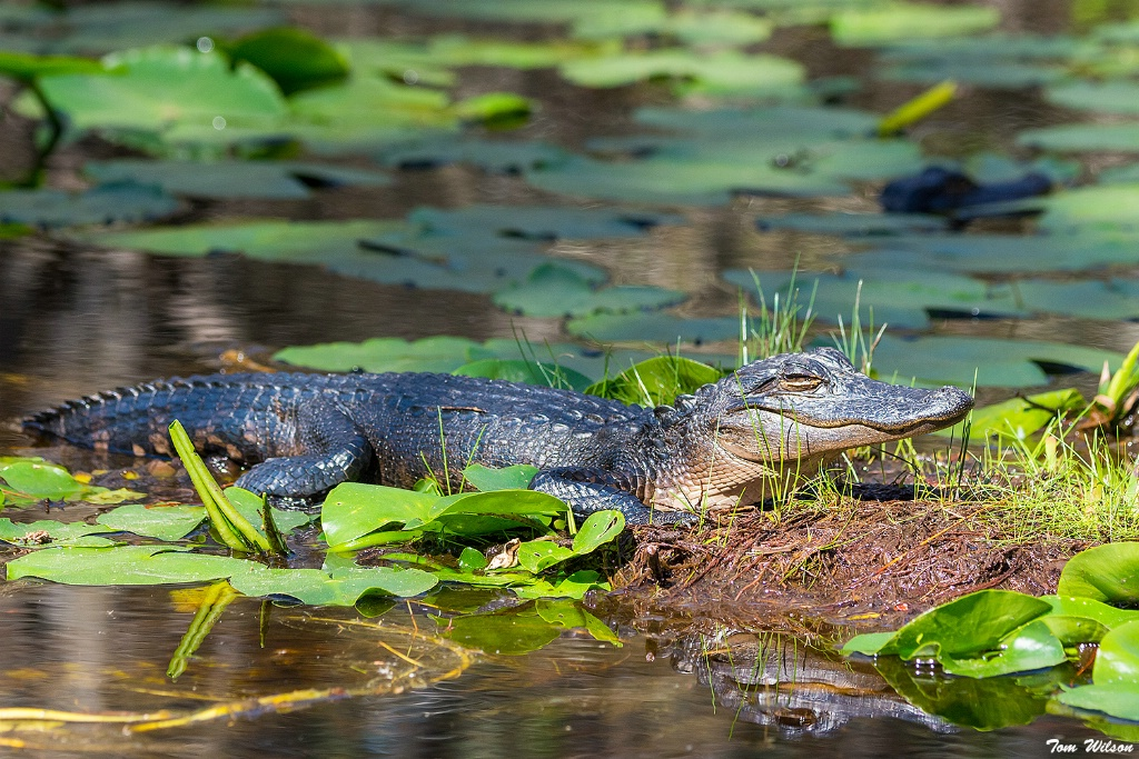 Young Alligators in the Okefenokee