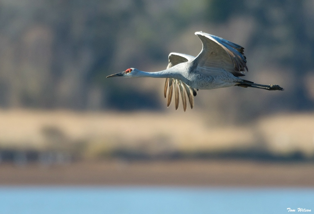 Sandhill Crane at Hiwassee Wildlife Refuge