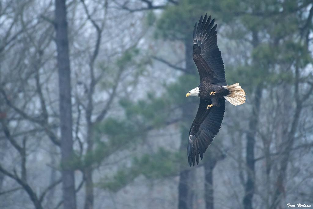 Bald Eagle on a Foggy Morning