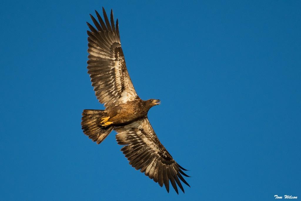Jevenile Bald Eagle