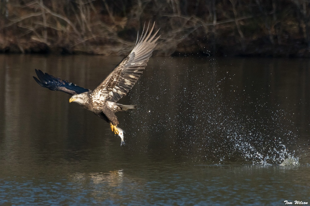Juvenile Bald Eagle Catching