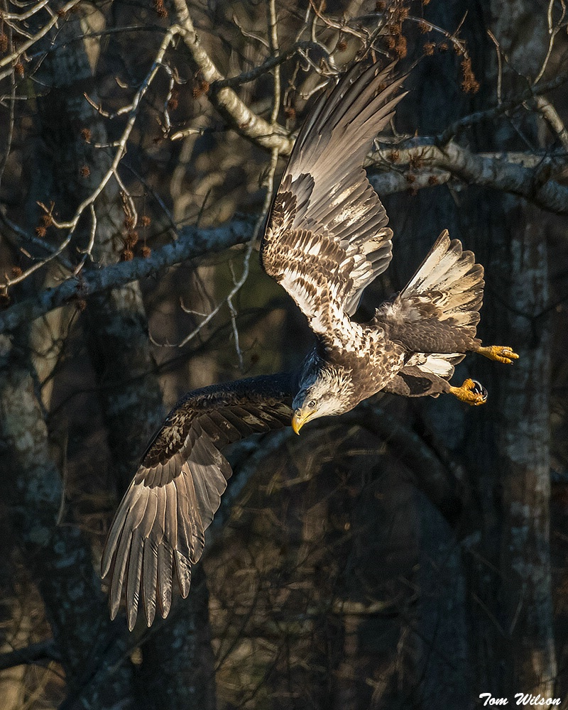 Juvenile Bald Eagle in a Dive