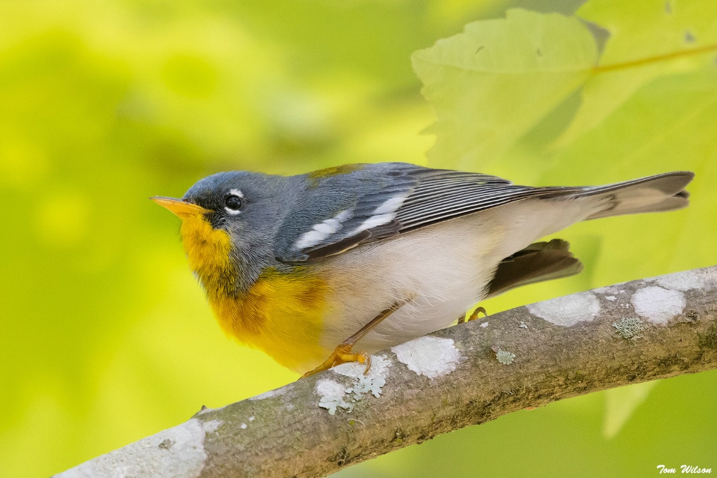 Northern Parula, Phinizy Swamp