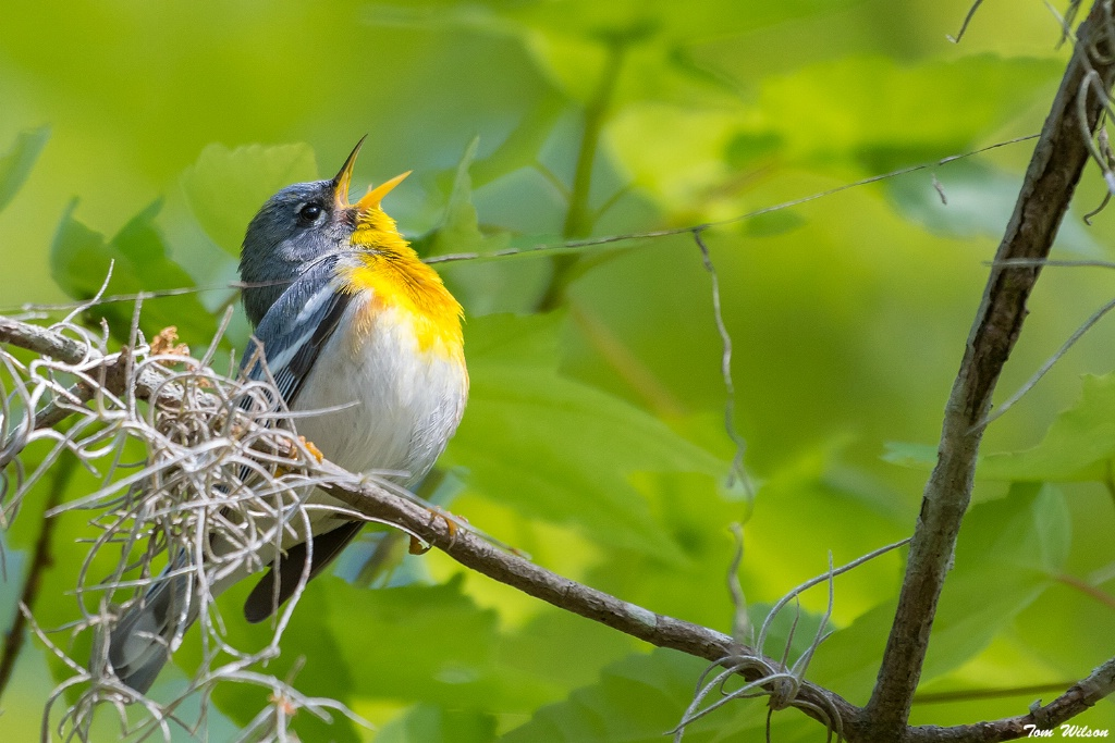 Singing in the Swamp, Northern Parula