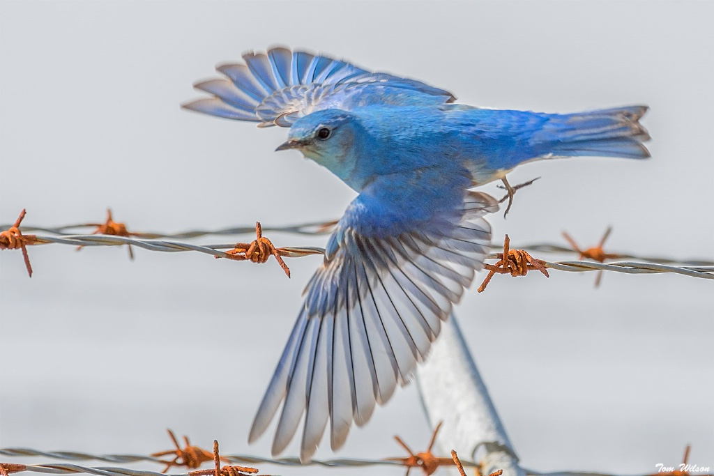 Mountain Bluebird takes flight