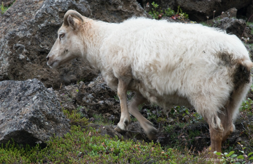 Lost Icelandic Sheep