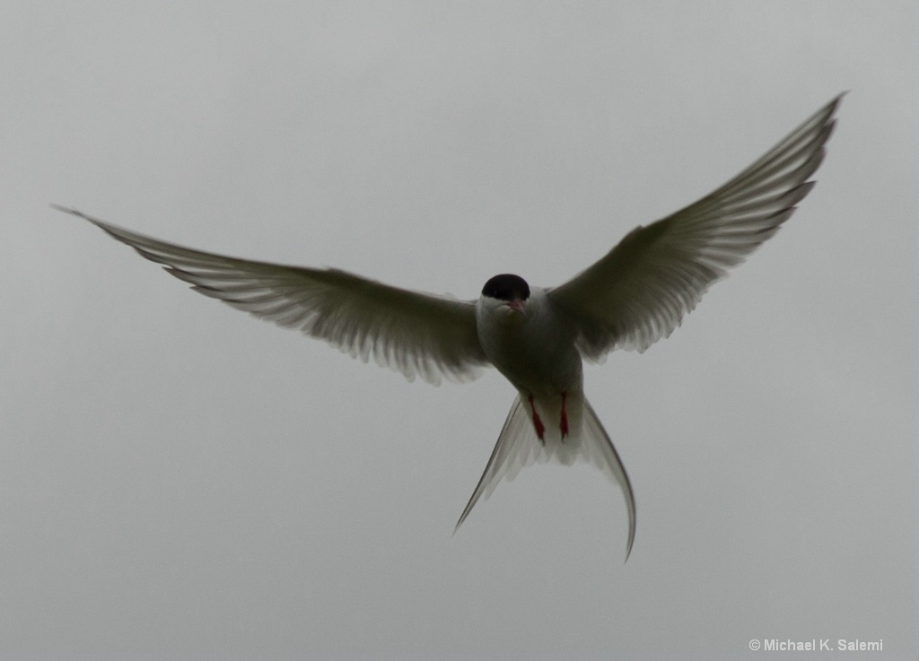 Arctic Tern on Patrol