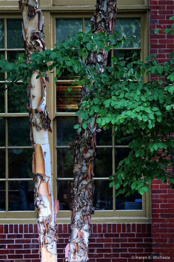 River Birch and office window
