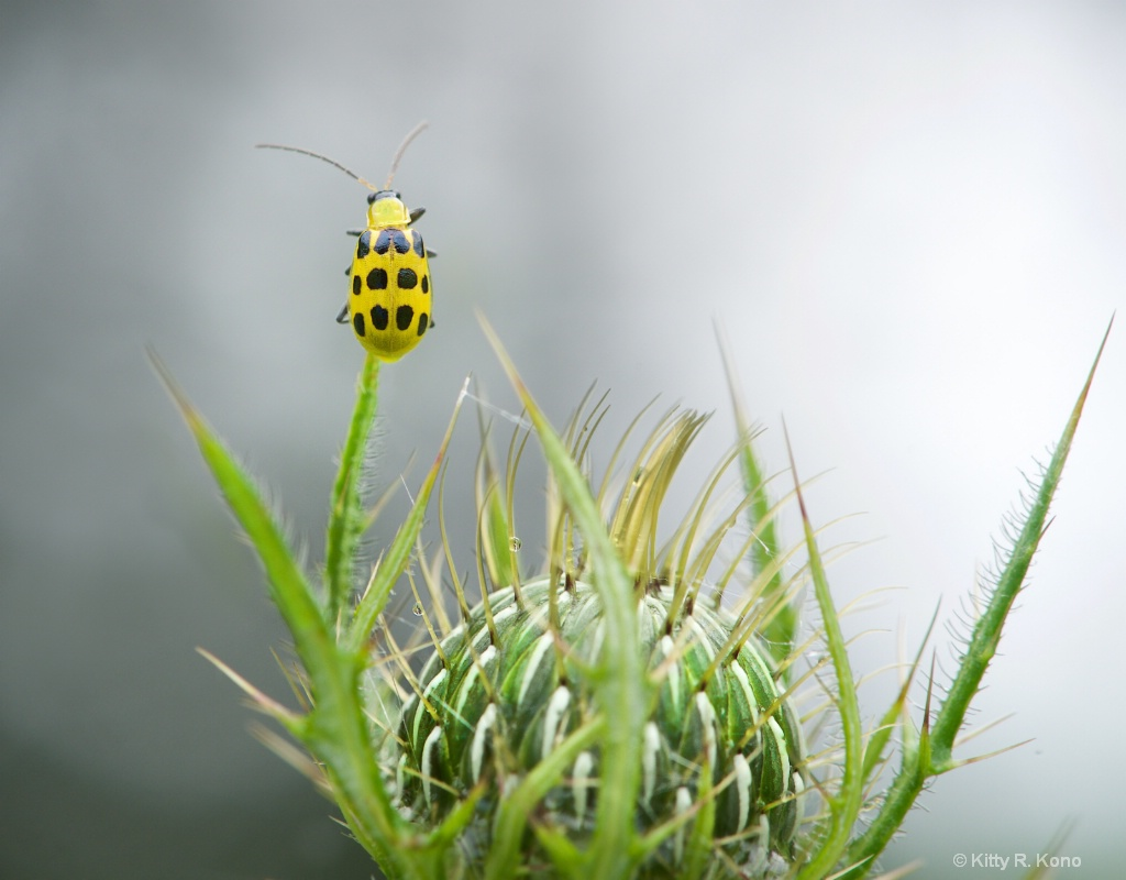 Cucumber Beetle Checks Out the Great Beyond