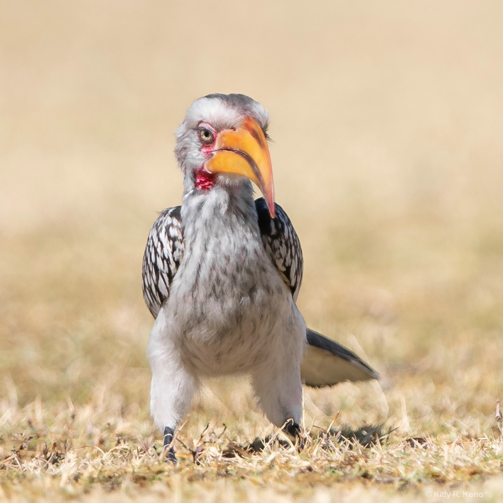 The Beautiful Hornbill
