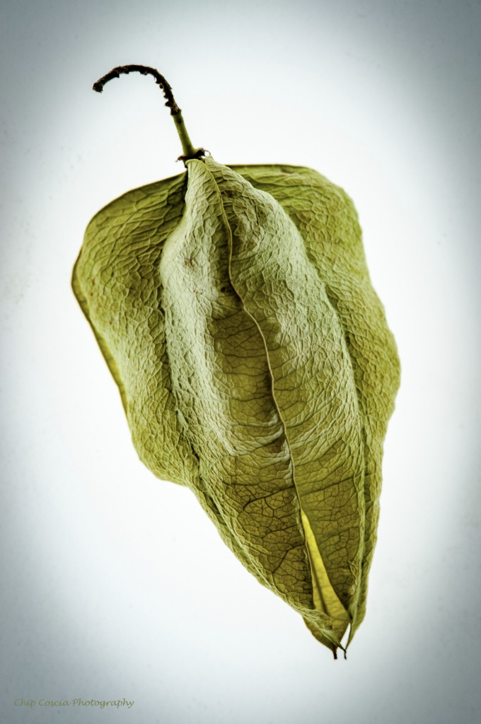 Golden Rain Tree Seed Pod 1