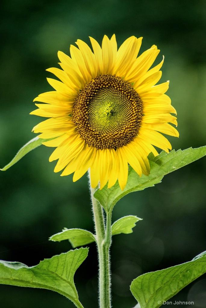 Sunflower in Bloom 3-0 F LR 7-13-18 J133