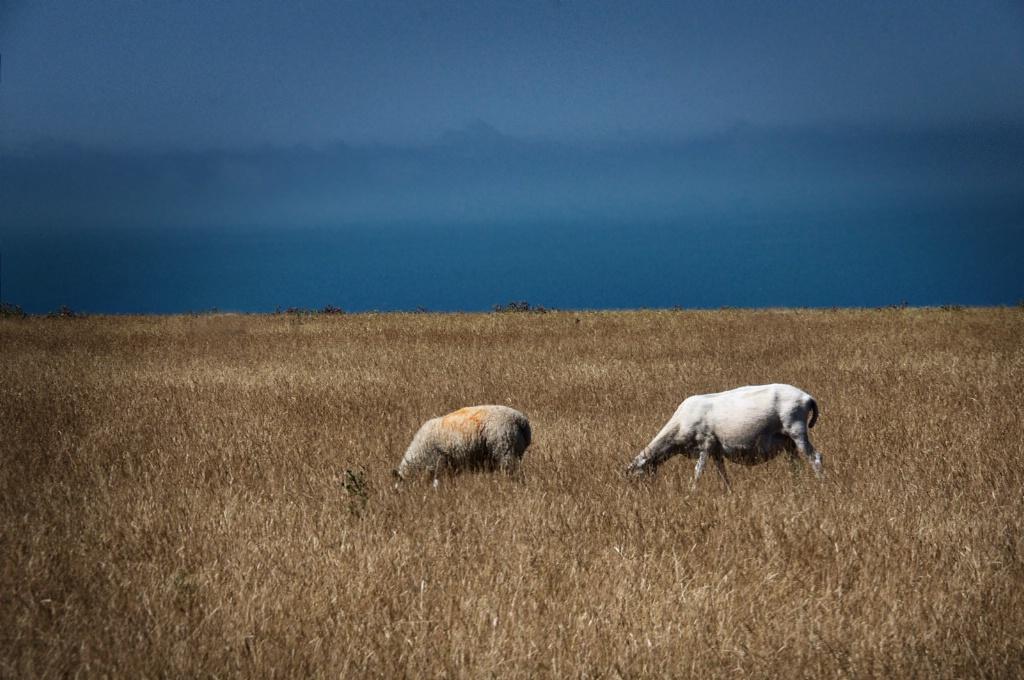 Headless Sheep