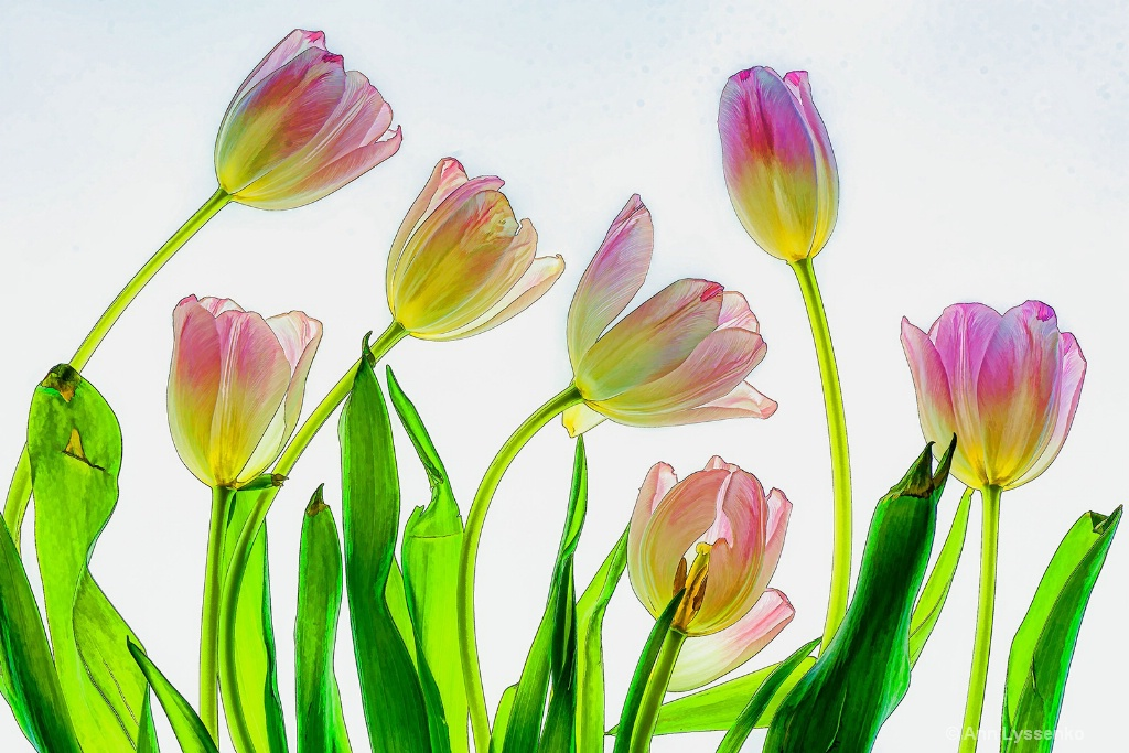 Lucky Seven Tulips
