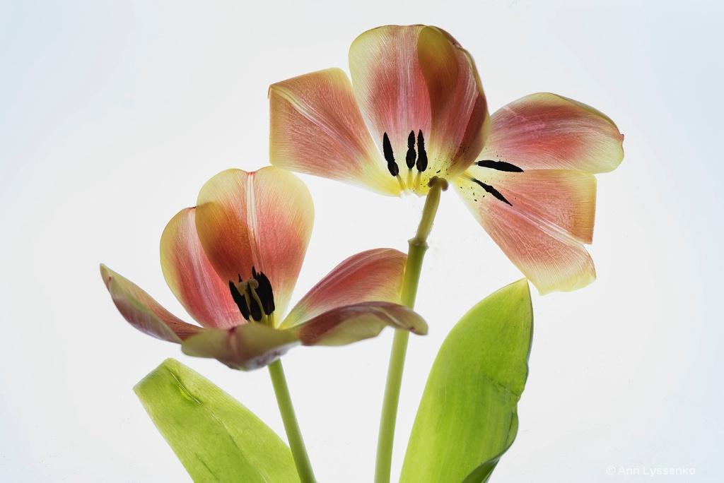 Wabi Sabi Tulips