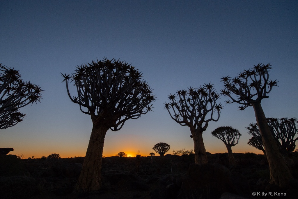 Quiver Tree Forest with Sunset