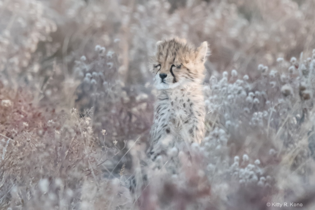 Sleepy Cheetah Cub