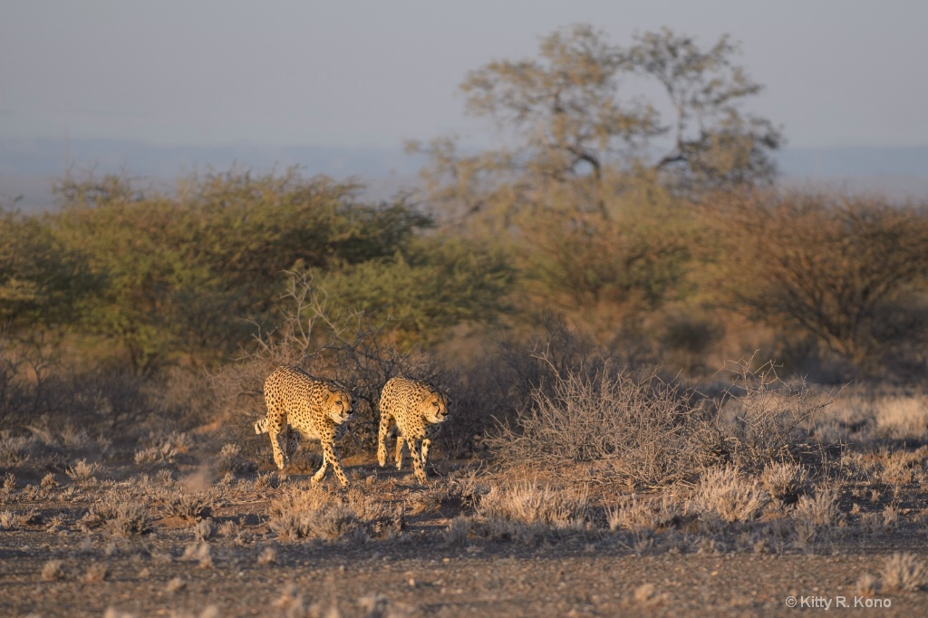 Two Cheetahs on the Prowl