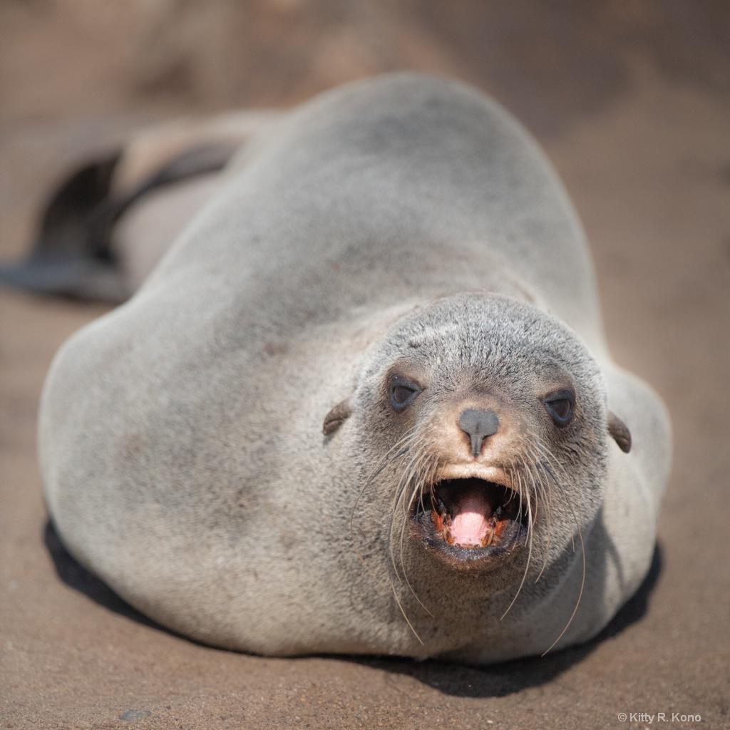Big Mama Fur Seal