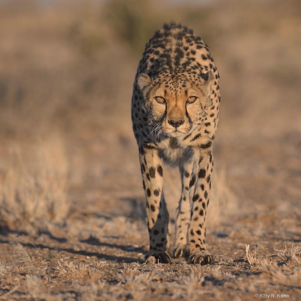 Cheetah on the Farm