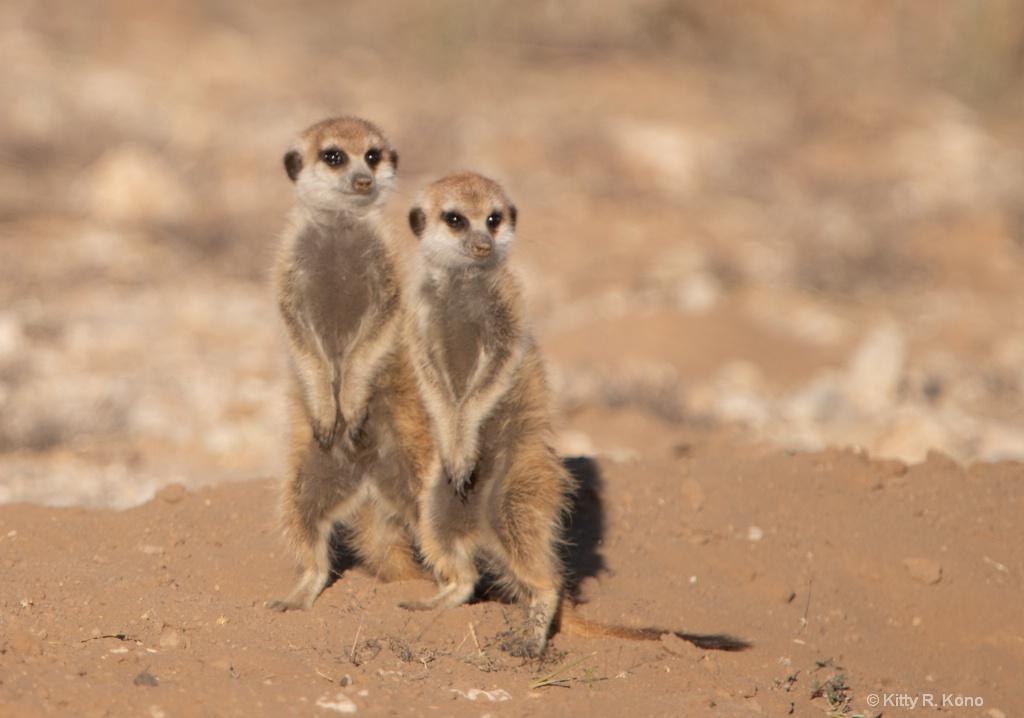 Meerkat Sentries