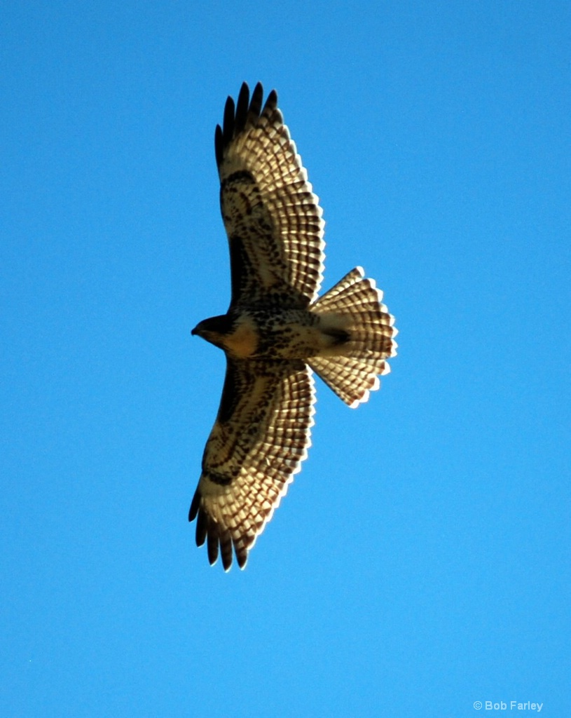 Hawk Soaeing above