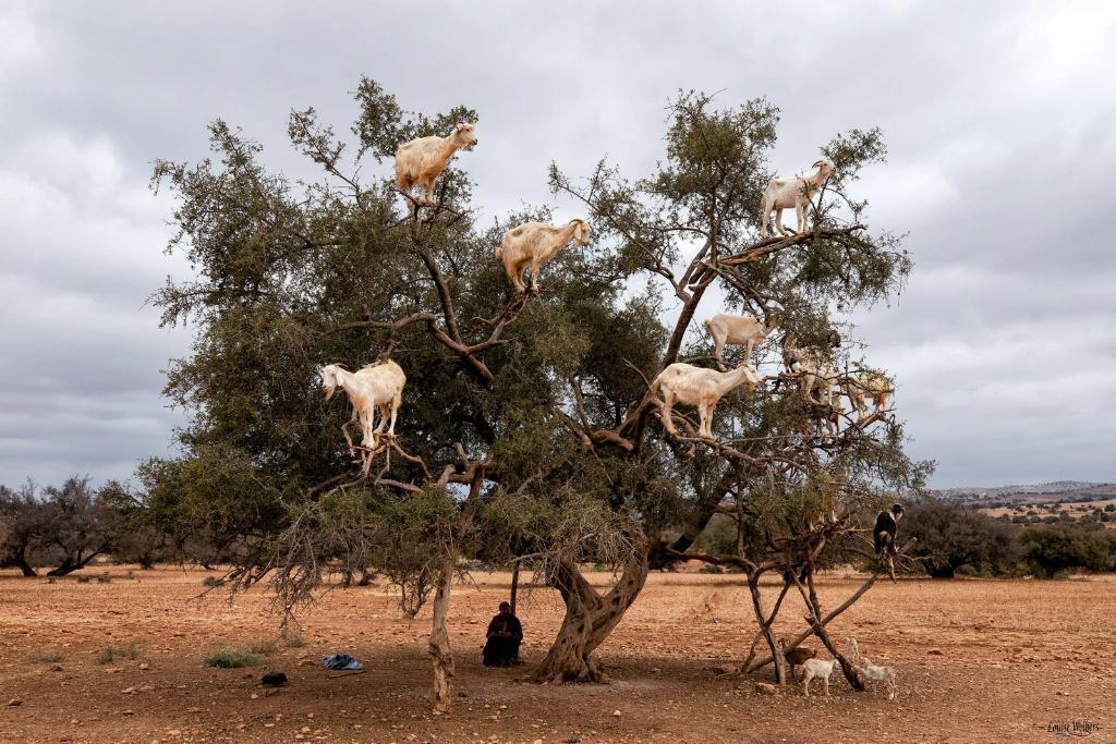 Nana Goat Tree