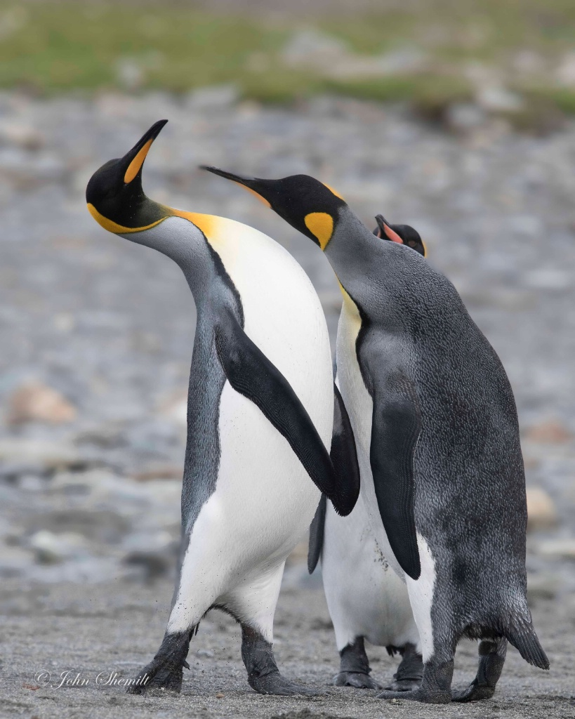 King Penguin - Apr 3rd, 2018
