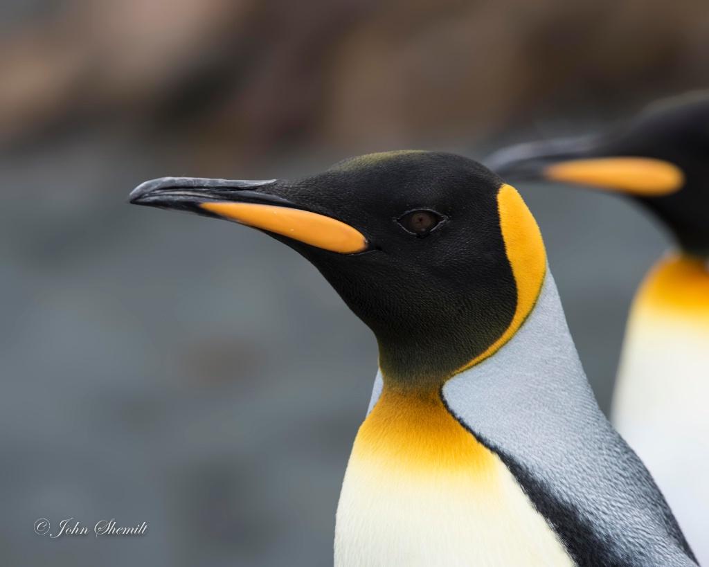 King Penguin - Feb 15th, 2017