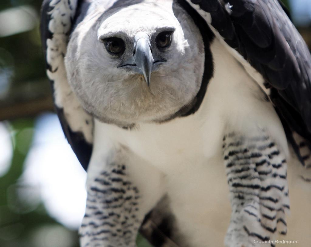 Harpy Eagle (Gonini)