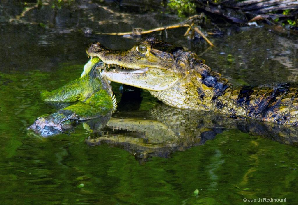 Crocodile eating Iguana