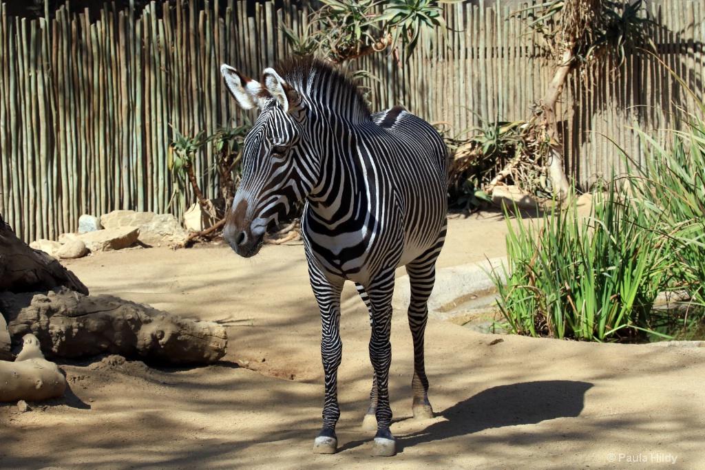 Zebra Haven