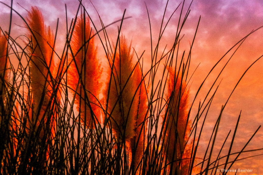 "Through the Pampas Grass ""Feather Dusters"""