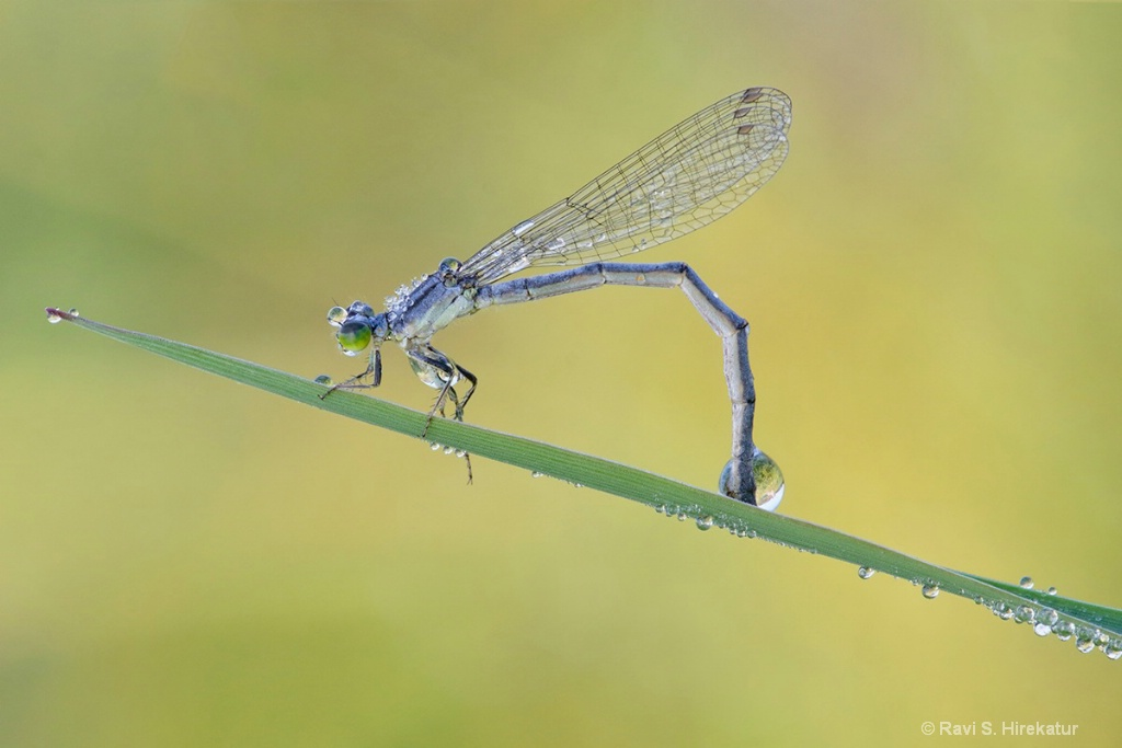 Damselfly with Dew Drops