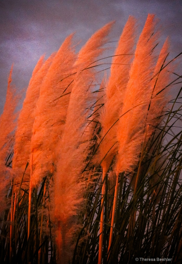 Sunset shining on Pampas Grass