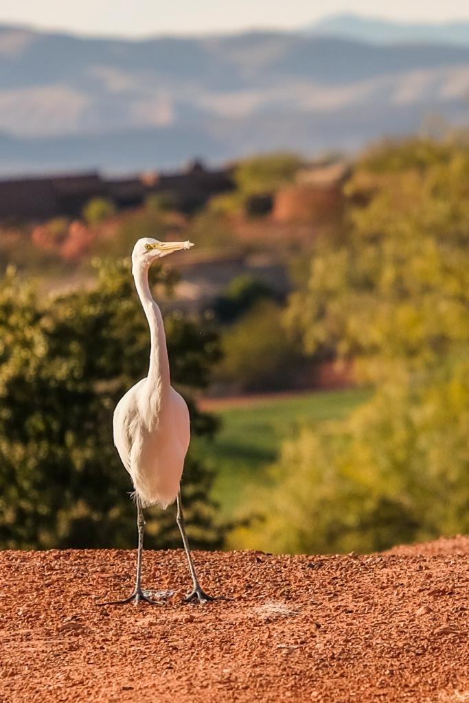 Great Egret sighting