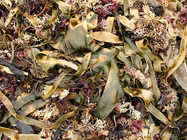 Seaweed on Monhegan
