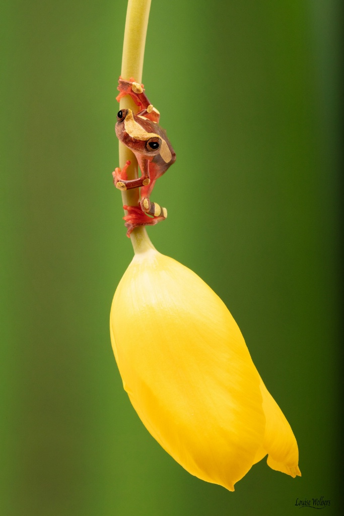 Frog On A Tulip