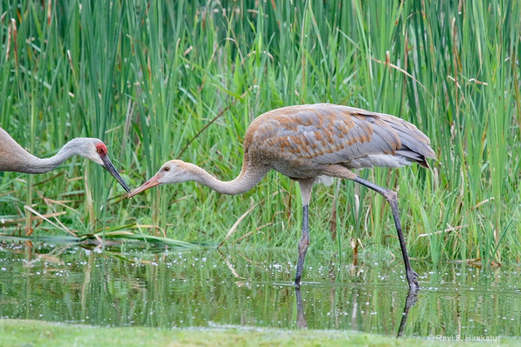 Sandhill Crane Parent Transferring a Grub to Chick