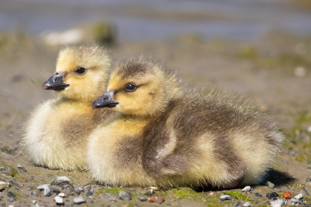 Canada Geese (infant)
