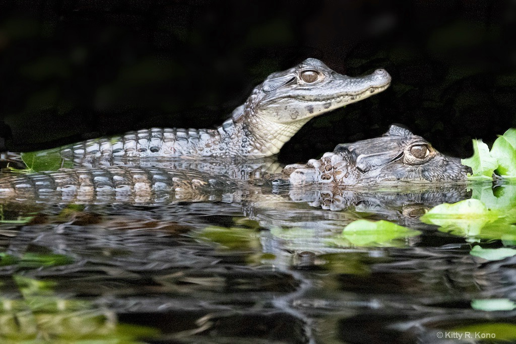 Two Caiman