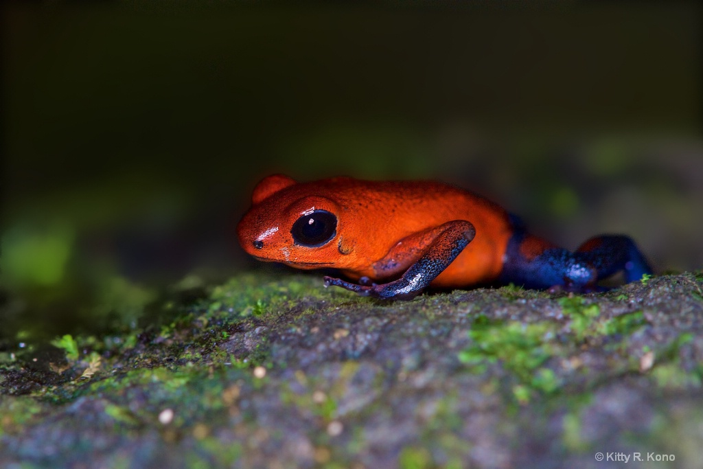Poison Dart Frog on the floor of the Rain Forest 1