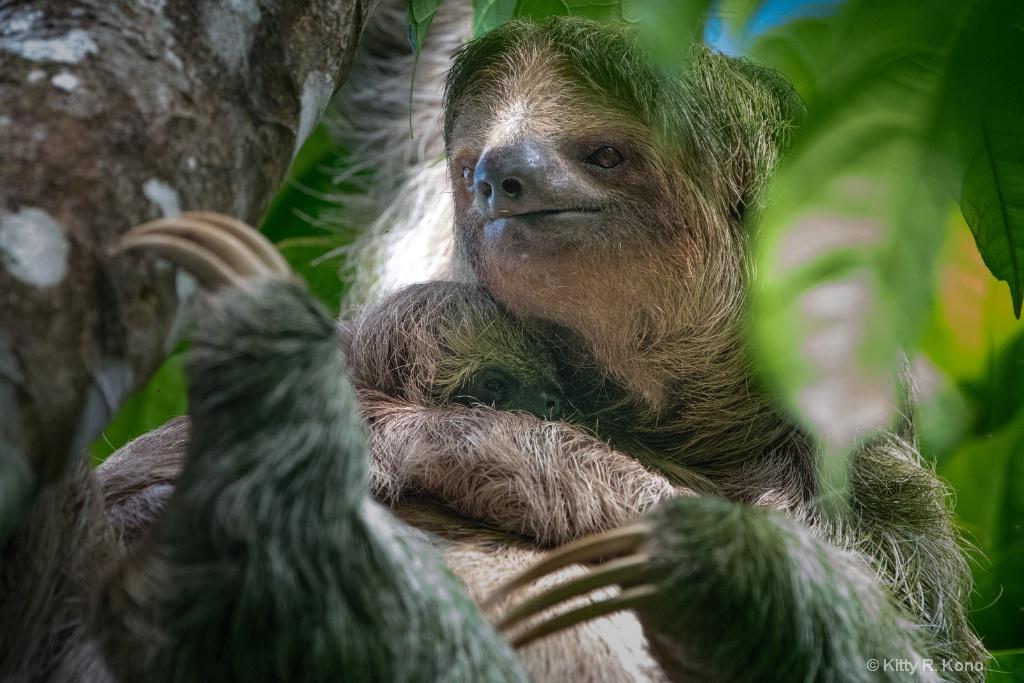 Mom and Baby Three Toed Sloth - Costa Rica