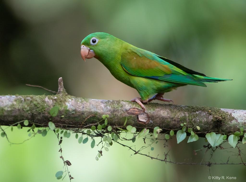 The Green Parot