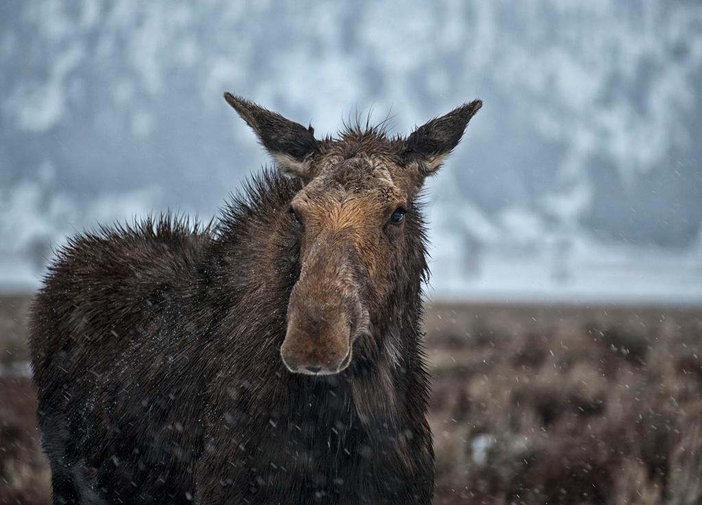 Moose under rain