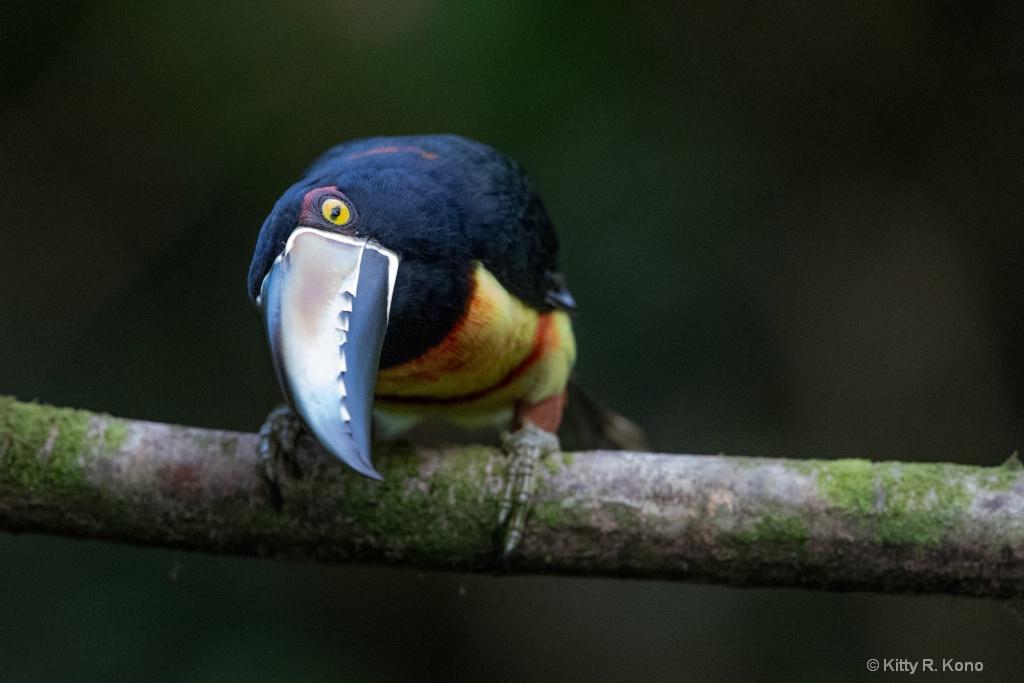 The Inquisitive Collared Aracari Toucan